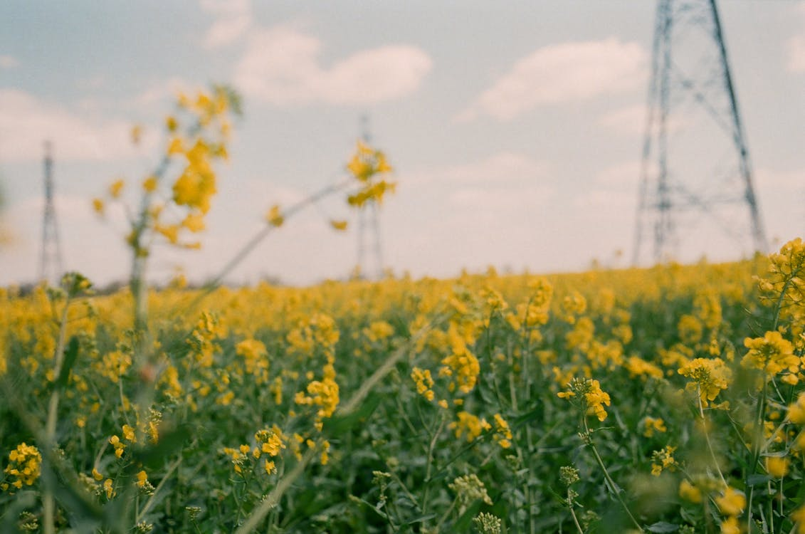 Blossoming small yellow flowers with green stems growing in field against industrial electrical power line and blue sky in countryside
