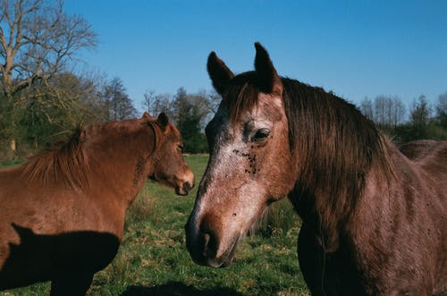 Stallions with brown coat and manes standing on meadow against trees under blue sky in countryside