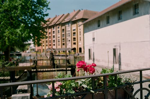 Blooming flowers against canal and old urban house facades