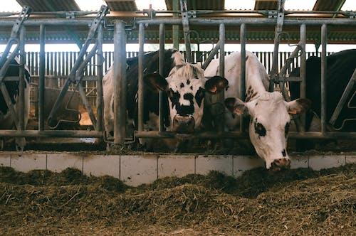 Ingyenes stockfotó állat, állatállomány, artiodactyla témában