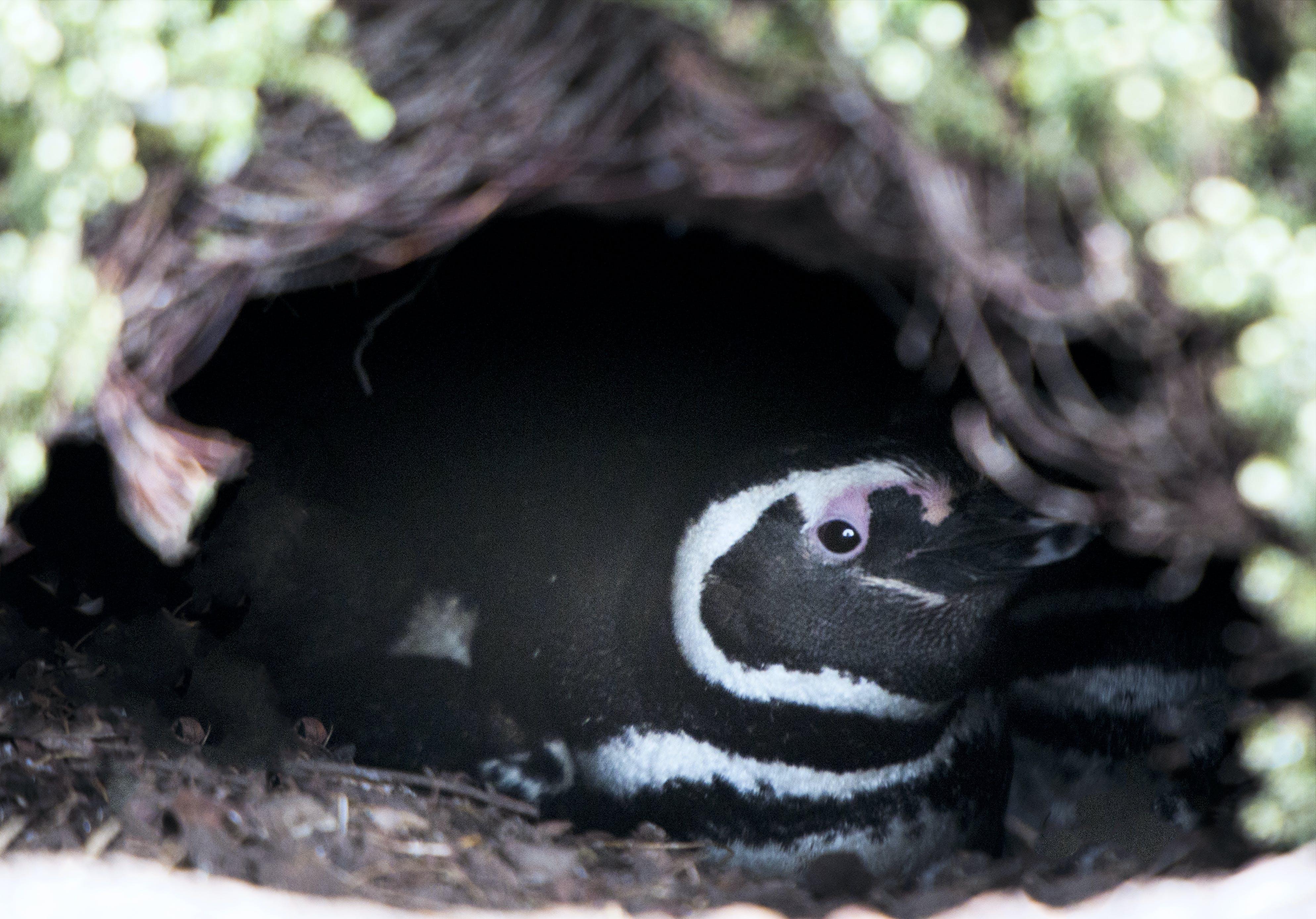 Free stock photo of baby, penguin, penguins, Magellanic