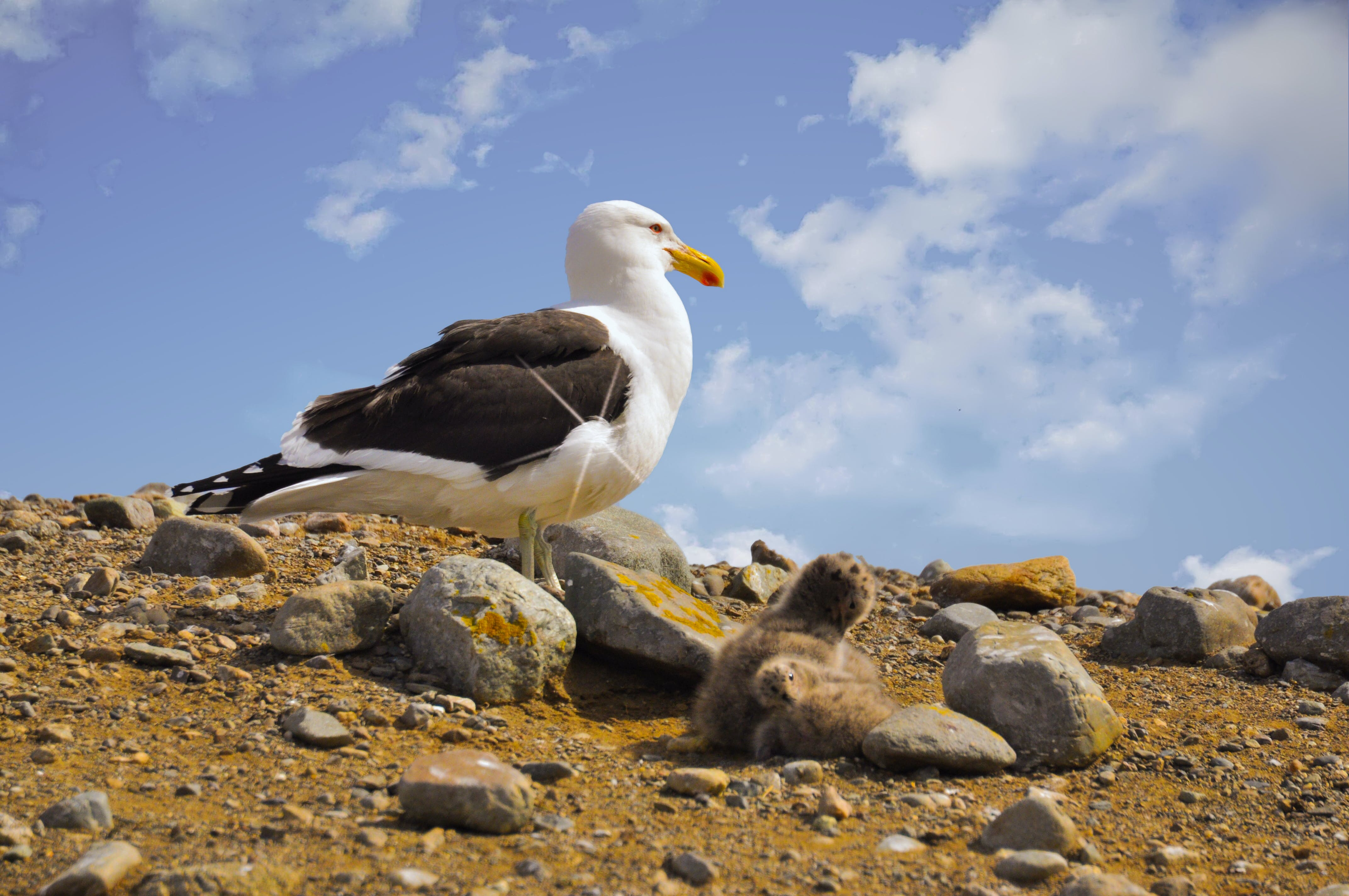 Free stock photo of seagulls, seagull, baby, mother and baby