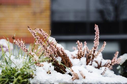 Calluna flowers on snowy street