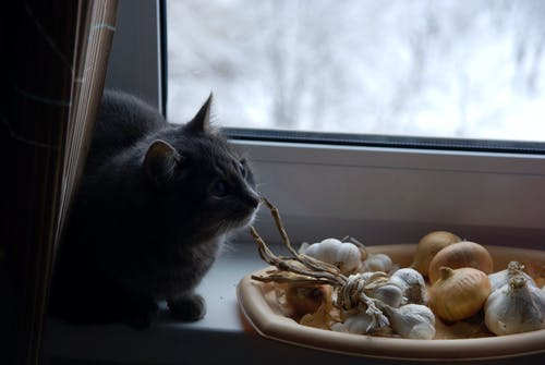 Free stock photo of animal, cat, garlic, glass window