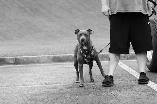 A Grayscale of a Dog on a Leash