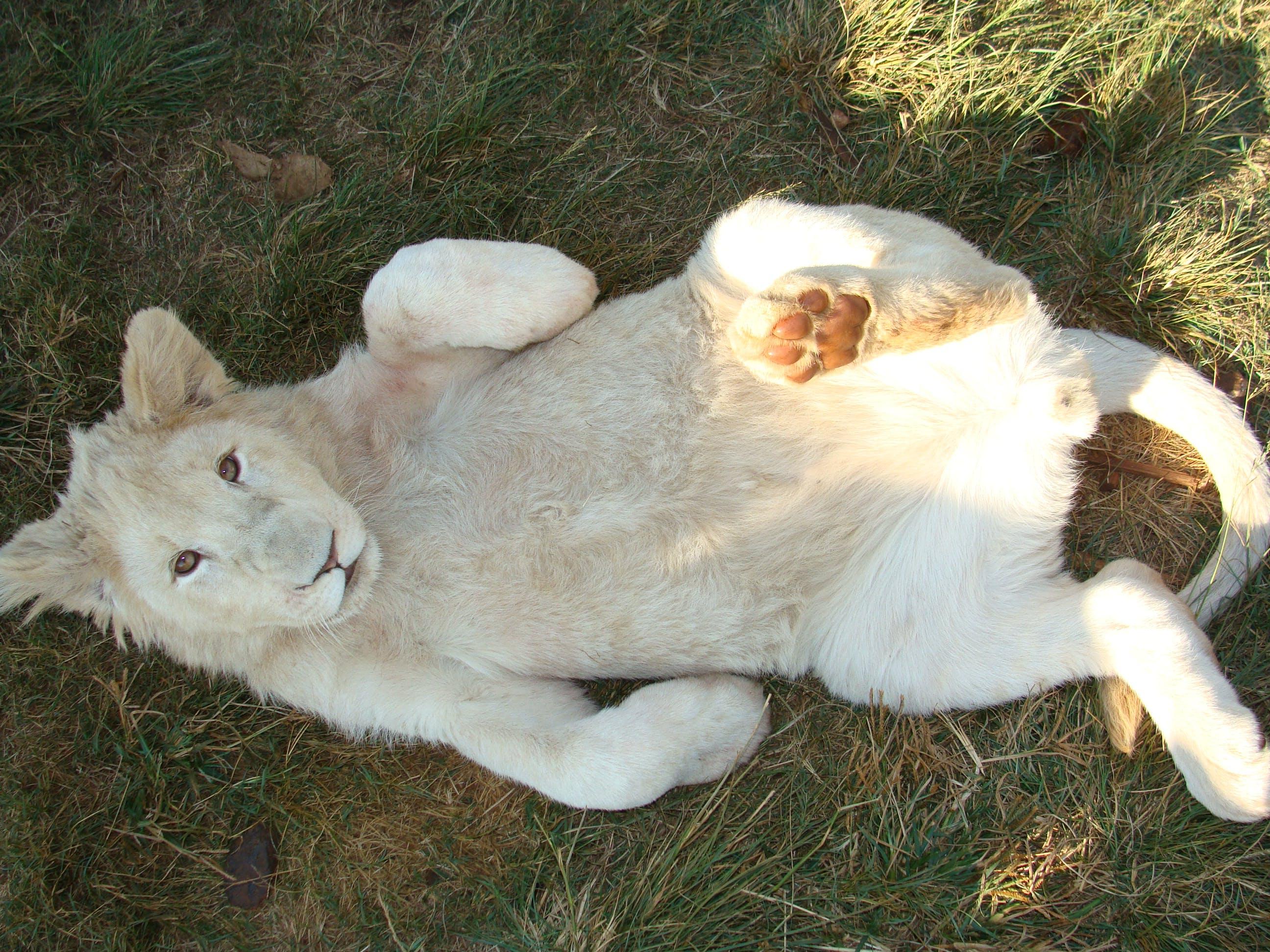 Lying Albino Tiger in the Grass