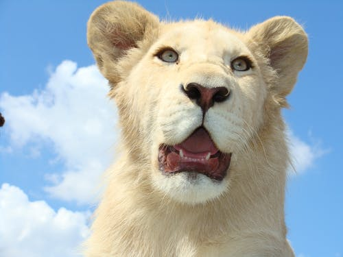 Kostenloses Stock Foto zu katze, katzenartig, löwe, niedlich