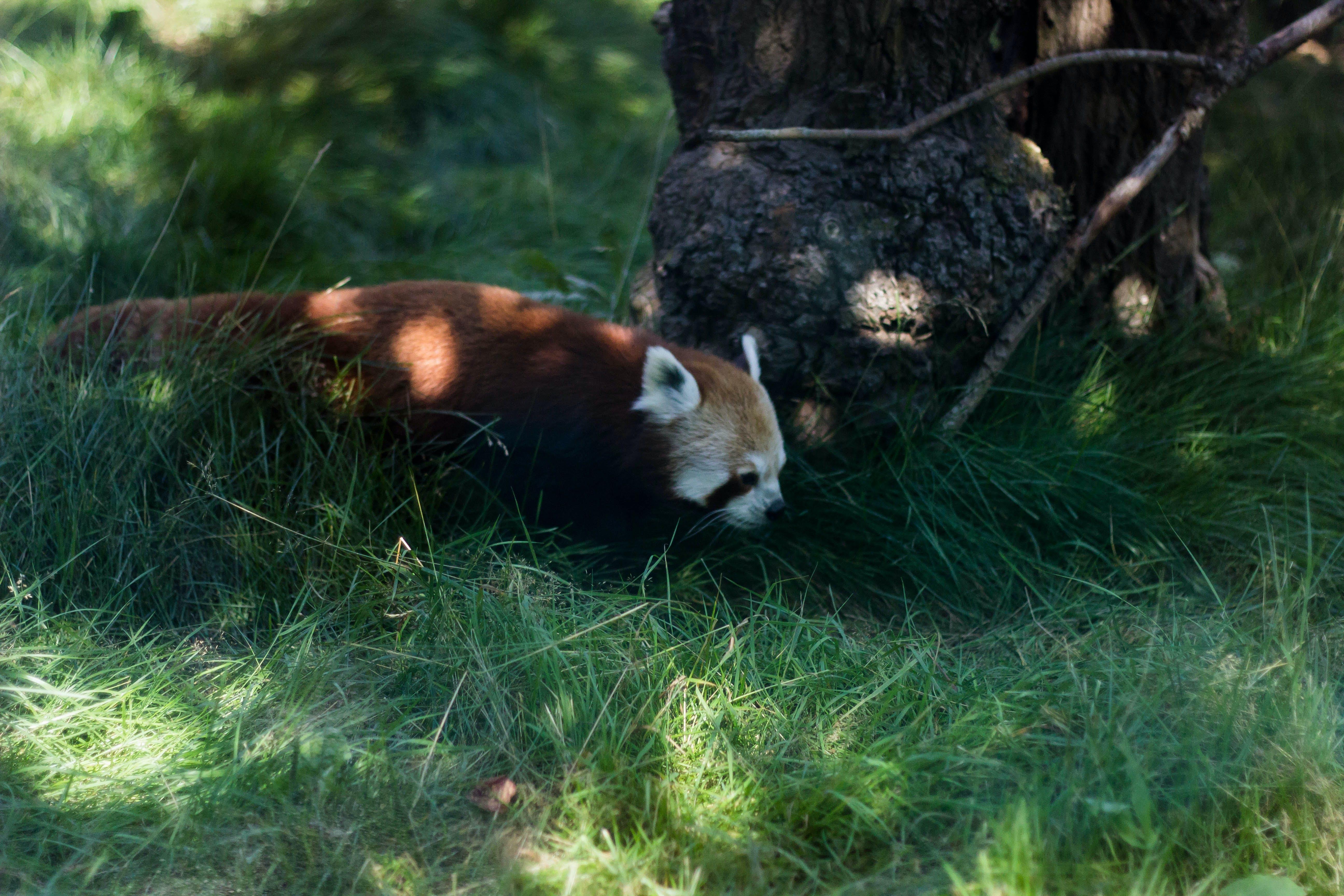 Photo of Red Panda Beside Brown Tree