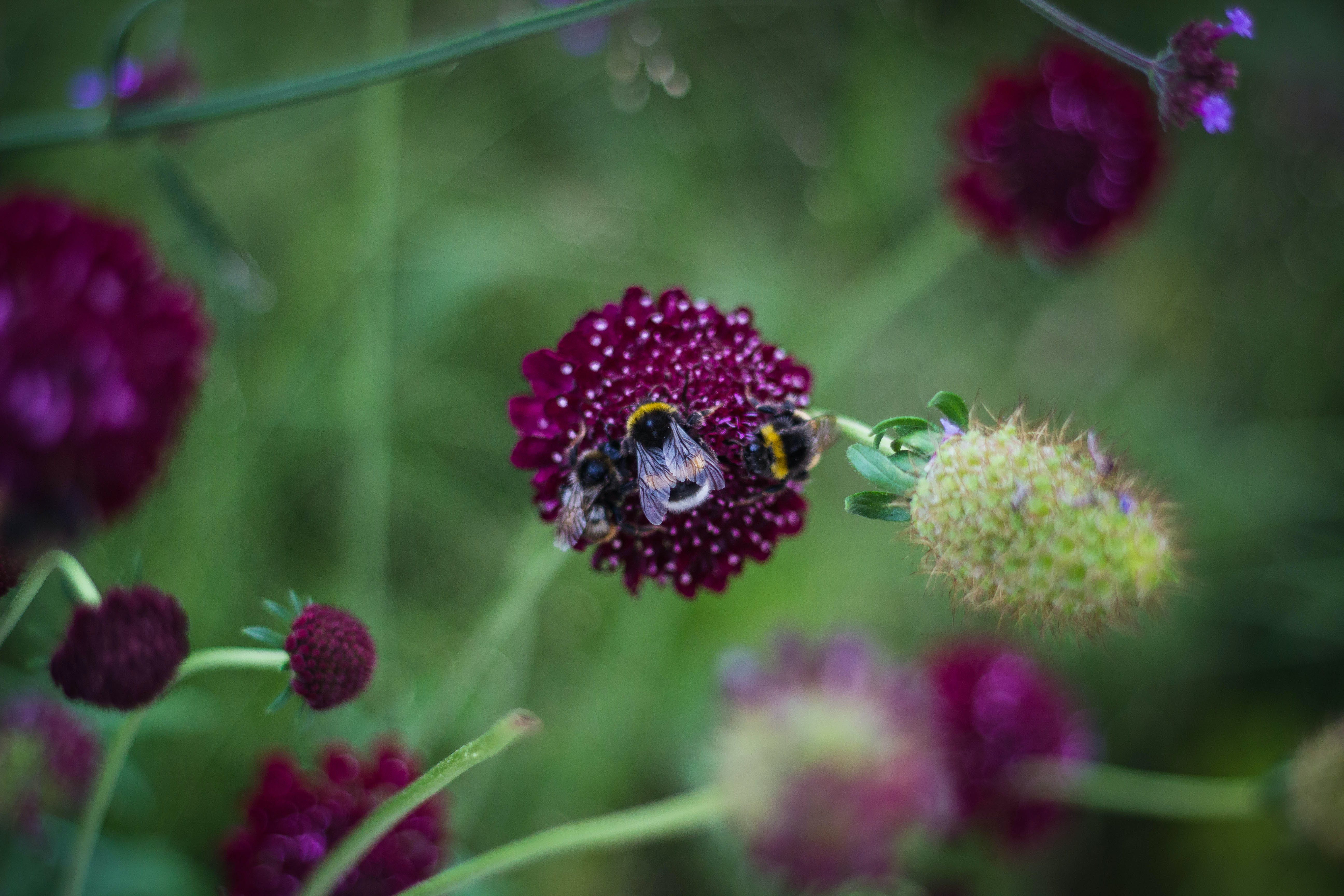 Shallow Focus Photography of Three Bees on Purple Flower