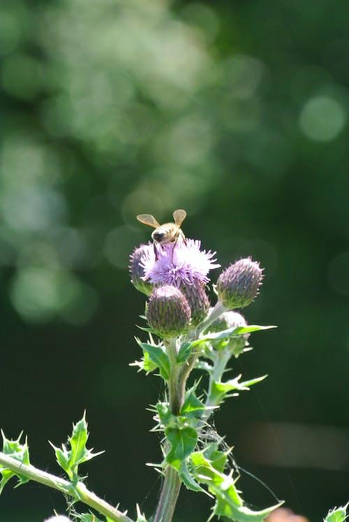 Free stock photo of bee, blur, cornwall, flower