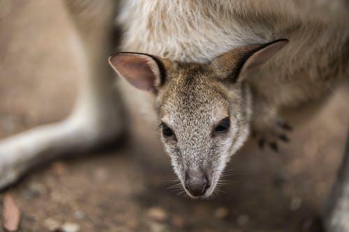 Free stock photo of animal, australia, baby