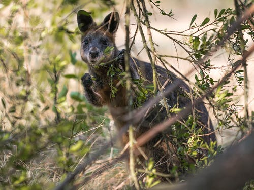 Free stock photo of animal, australia, cute