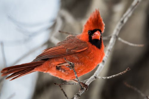 Red and Black Bird on Tree Branch