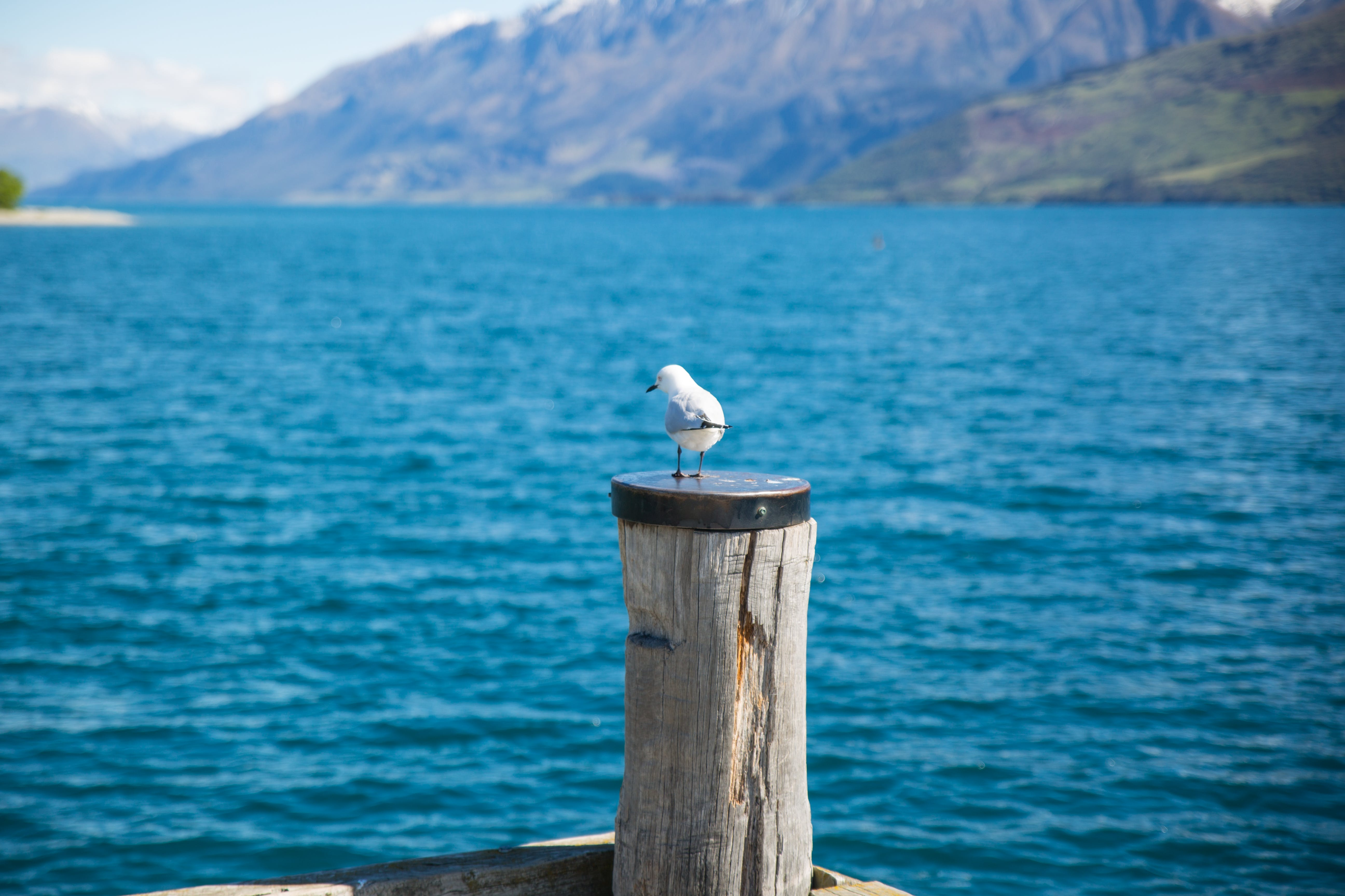 Depth of Field Photography of White Gull on Top of Brown Wooden Pole in Front of Body of Water