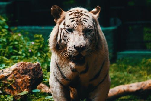 Darmowe zdjęcie z galerii z canon, fotografia zwierzęcia, kot, ogród zoologiczny