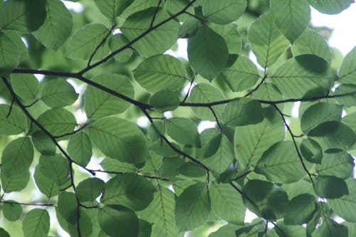 Green Leaf Tree
