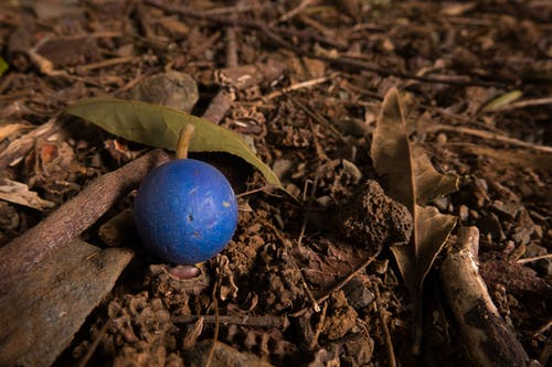 Free stock photo of beautiful, berry, blue, Blue Quandong