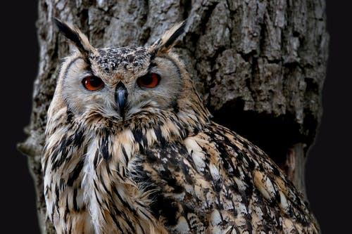 Close-Up Shot of a Great Horned Owl Looking at Camera