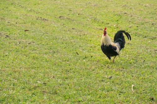 Ảnh lưu trữ miễn phí về gà trống, Hawaii, hoang dã, phạm vi miễn phí