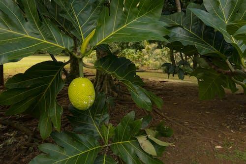 Ảnh lưu trữ miễn phí về bánh trái, cận cảnh, Hawaii, hệ thực vật