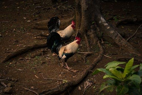 Ảnh lưu trữ miễn phí về cặp vợ chồng, gà trống, Hawaii, hoang dã