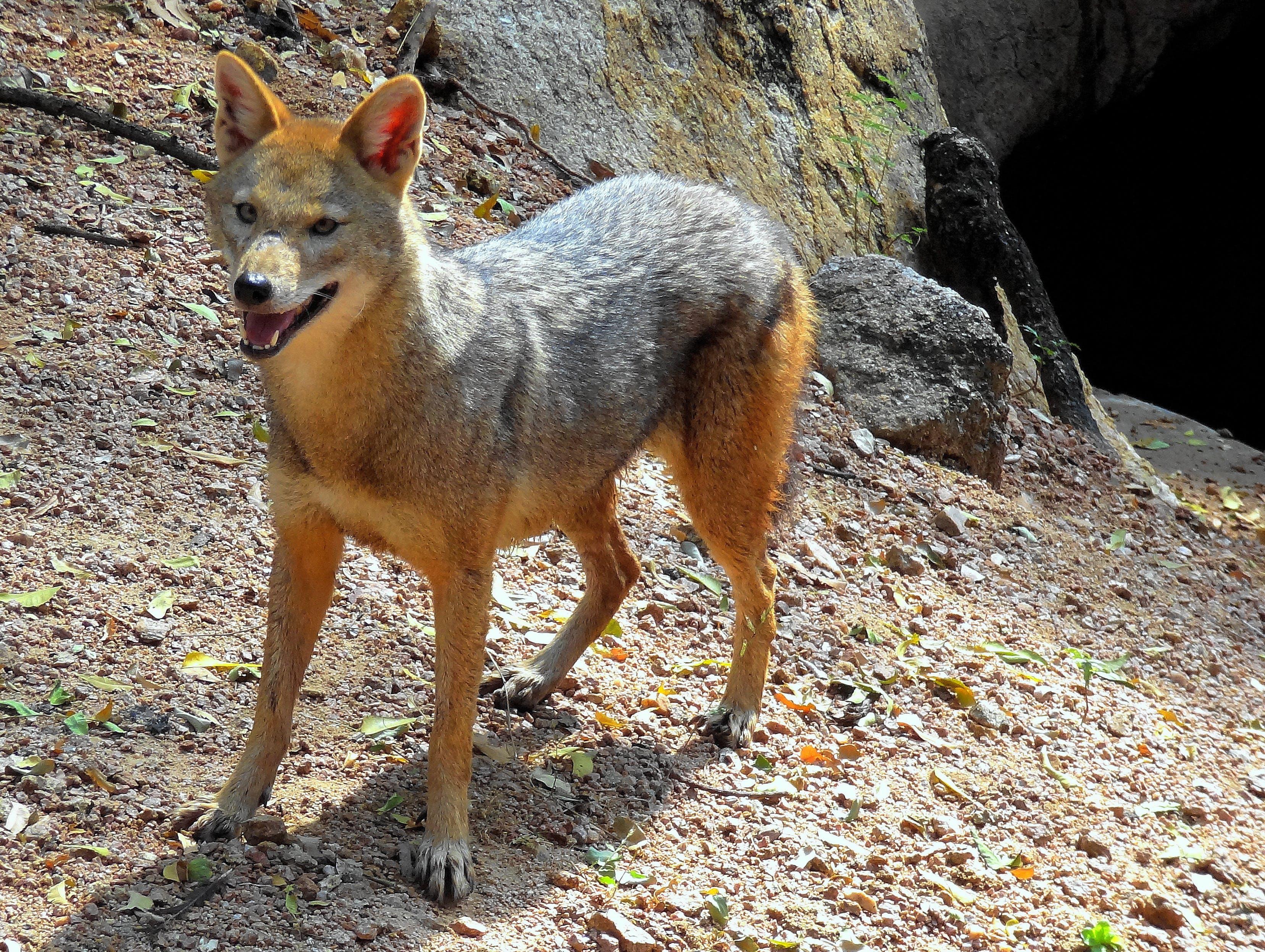 Free stock photo of the fox