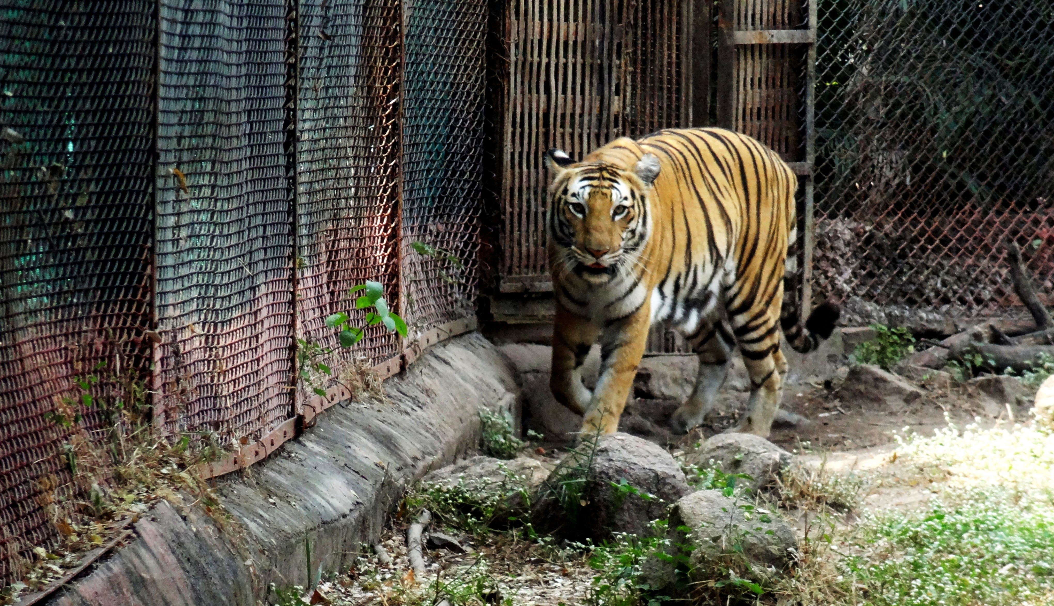 Free stock photo of THE BENGAL TIGER