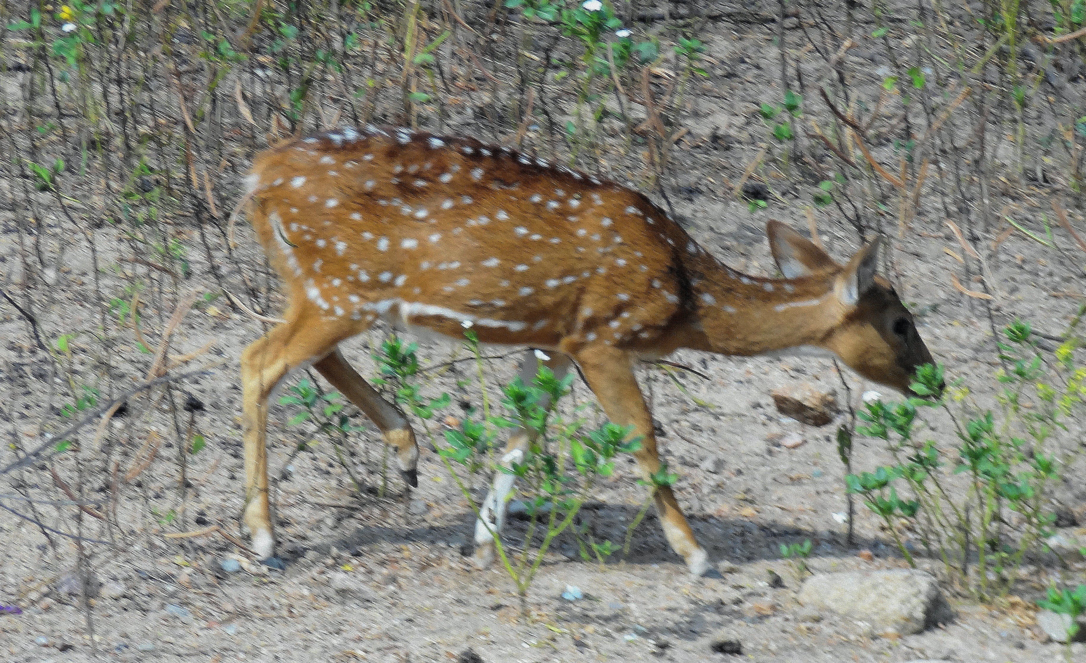 Free stock photo of THE DEER