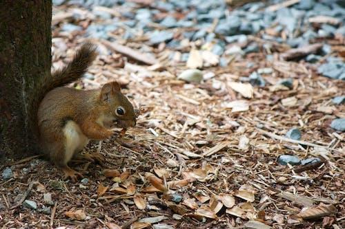Kostenloses Stock Foto zu eichhörnchen, tier