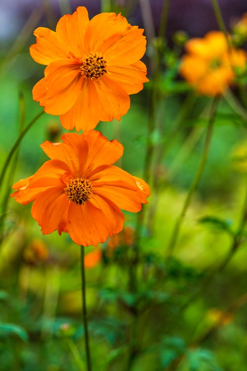 Shallow Focus Photo of a Blooming Orange Sulfur Cosmos