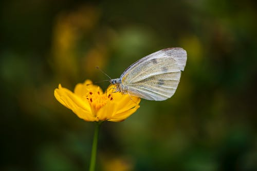 White Butterfly Perched on a Yellow Flower