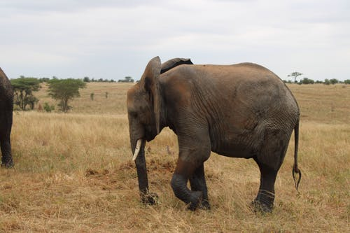 Elephant on the Brown Grass