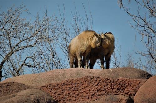 Free stock photo of african wildlife, animals, antelope