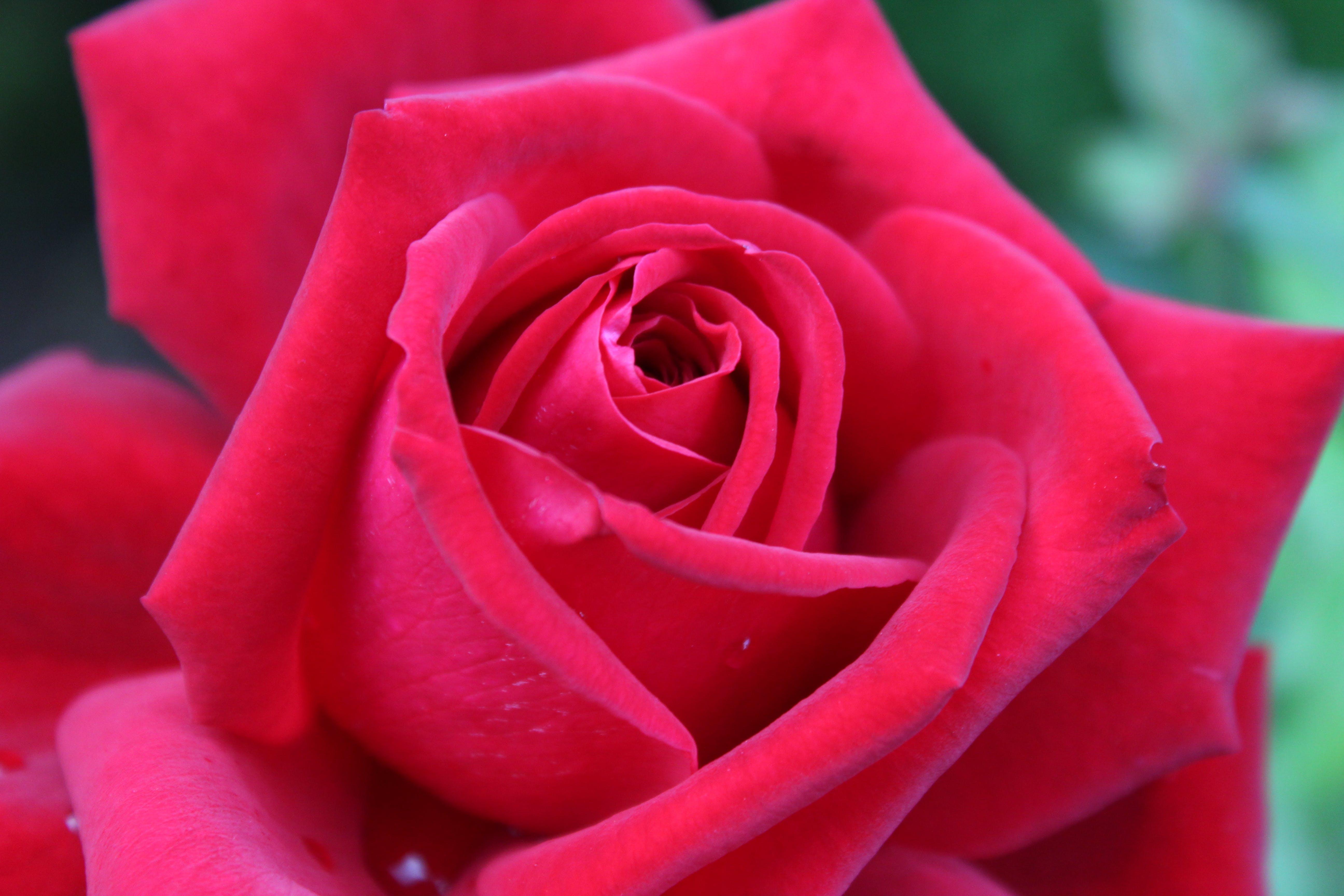 Free stock photo of nature, rose bud