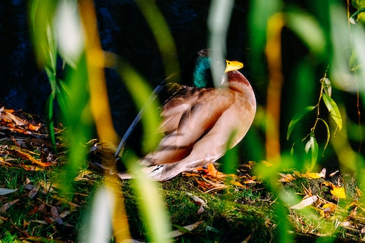 Photography of Brown and Green Mallard Duck Near Green Plants