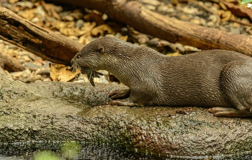 An Otter with a Fish on Its Mouth