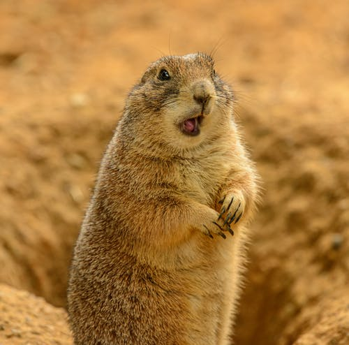 Brown Rodent on Brown Sand
