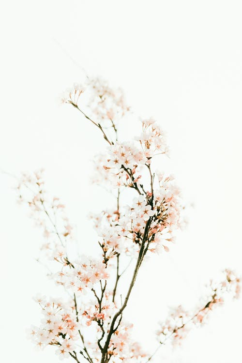 Cherry tree with blossoming white flowers on white background
