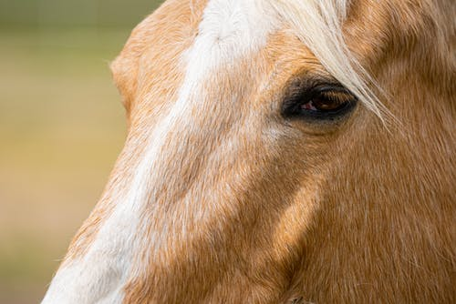 Brown and White Hair of Horse Head