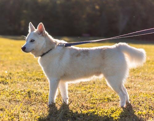 White Wolf on Green Grass Field