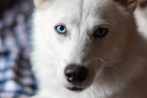 Close-Up Shot of an American White Shepherd Looking at Camera