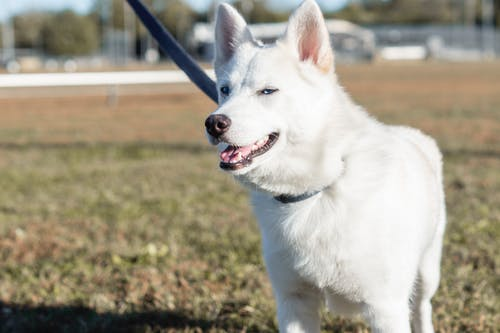 Close-Up Shot of a White American Shepherd Standing on a Grassy Field