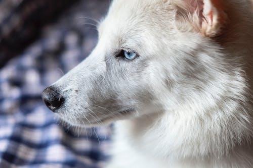 Close-Up Shot of an American White Shepherd