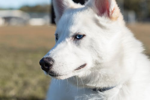 White Siberian Husky in Close Up Photography