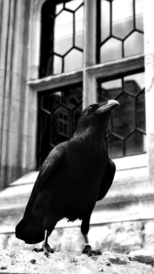 Grayscale Photo of a Crow