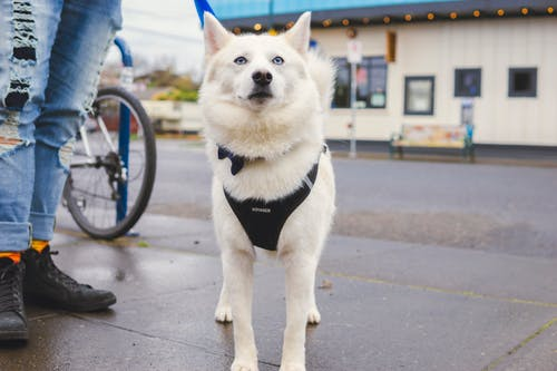 White and Brown Short Coated Dog With Black Leash on Gray Concrete Road