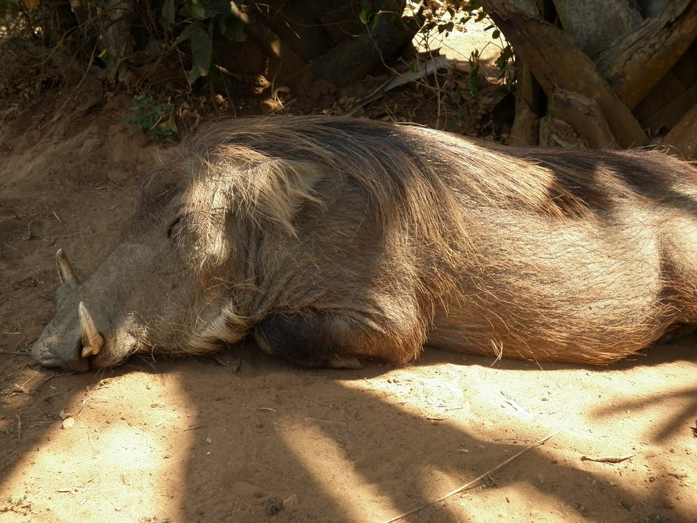 Free stock photo of africa, animals, pig