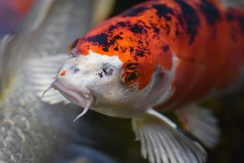 Close-Up Photo of a White and Orange Koi Fish