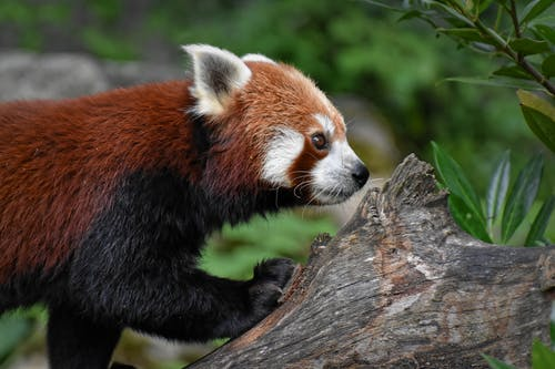 Selective Focus Photo of a Red Panda