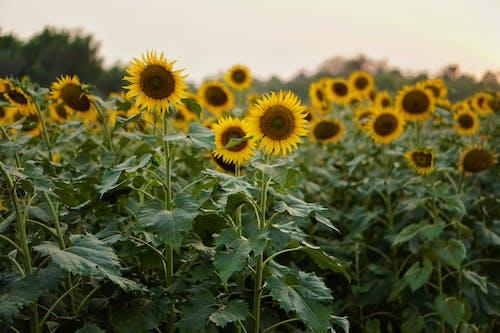 Photo of a Sunflower Field